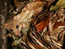 Dormouse in nest