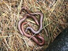 Reptile surveys - slow worms